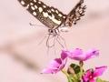 Lepidoptera Iran