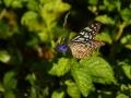 Lepidoptera 3